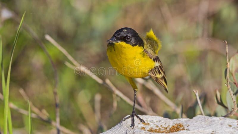 Mannelijke Gele Kwikstaart stock foto