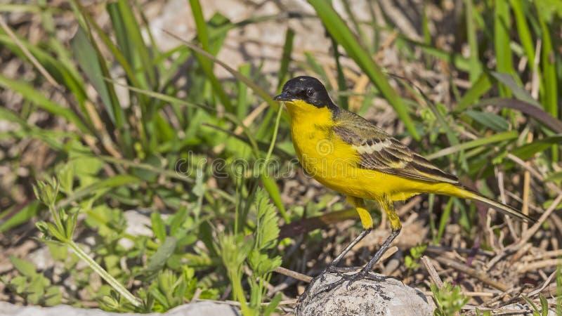 Mannelijke Gele Kwikstaart stock fotografie