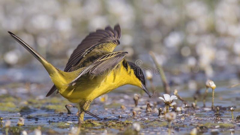 Mannelijke Gele Kwikstaart met Open Vleugels stock afbeelding
