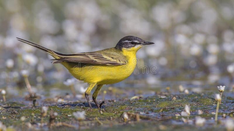 Mannelijke Gele Kwikstaart op Wateraccumulatie stock foto's