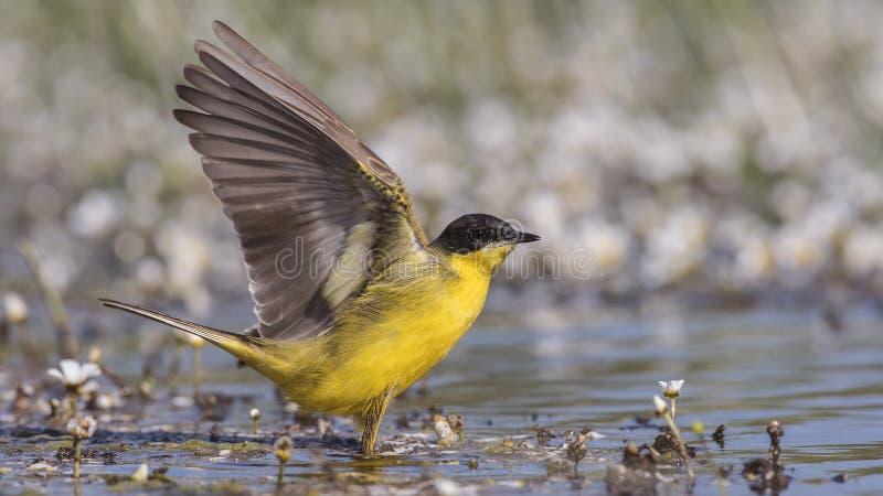Mannelijke Gele Kwikstaart Open Vleugels royalty-vrije stock fotografie