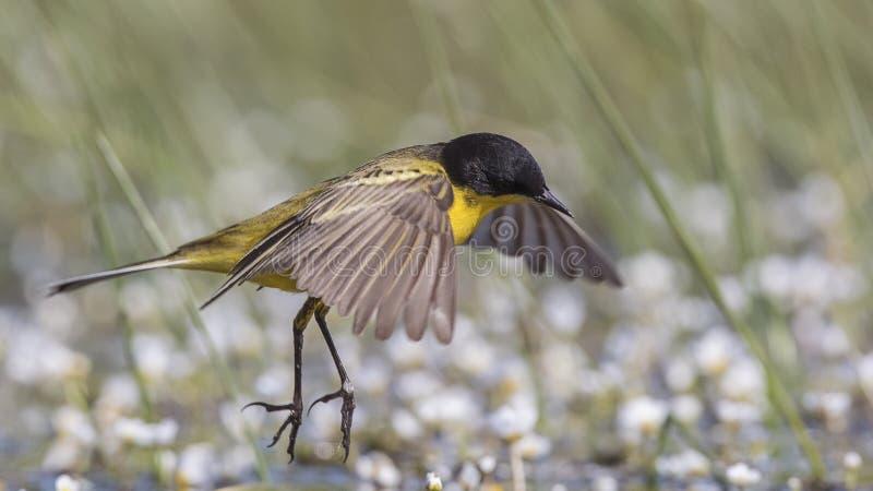 Mannelijke Gele Kwikstaartsprongen stock foto