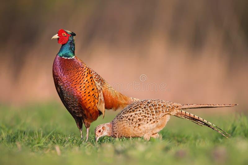 Mannelijke gemeenschappelijke fazanten, phasianuscolchicus, die voor wijfje in de lentebronst tonen stock afbeelding