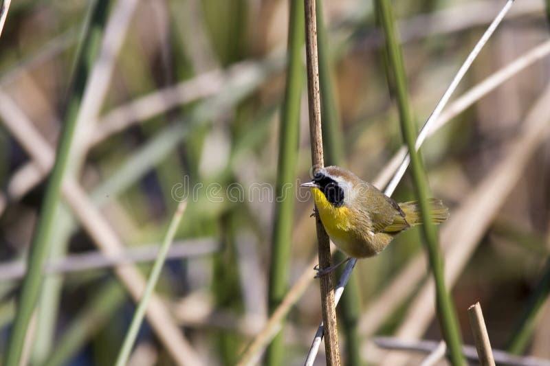 Mannelijke Gemeenschappelijke Yellowthroat-Grasmus royalty-vrije stock foto's