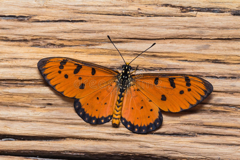 Mannelijke getaande costervlinder stock foto