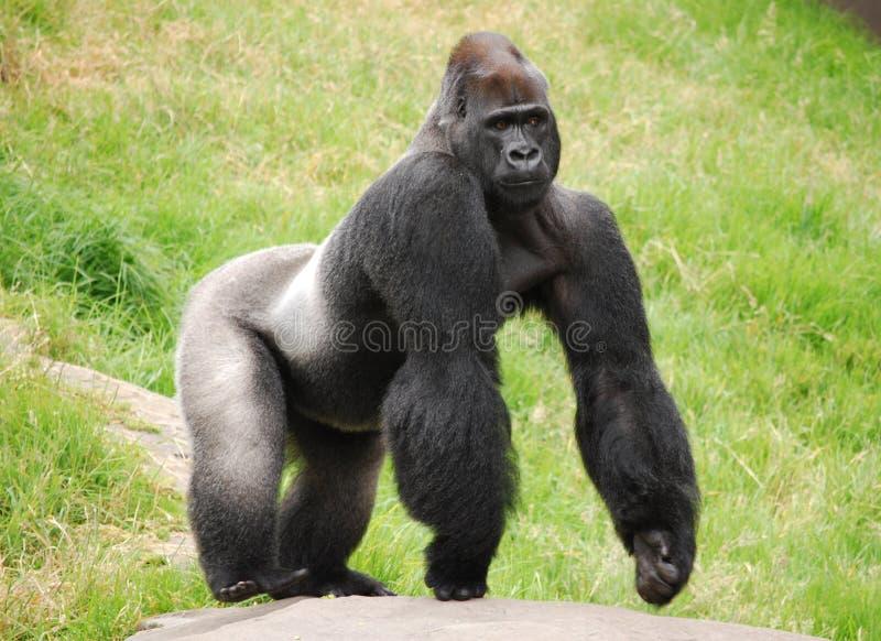 Mannelijke Gorilla Silverback royalty-vrije stock foto's