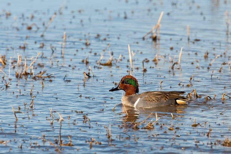 Mannelijke Green-Winged Wintertaling stock foto's