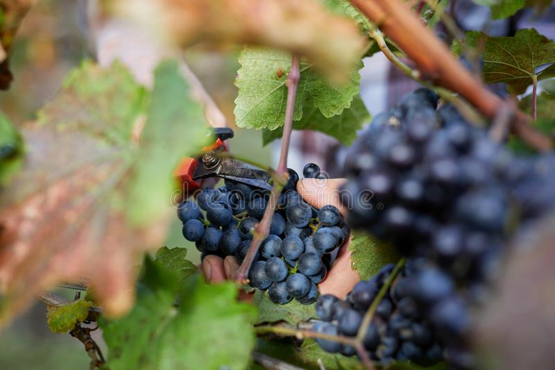 Mannelijke hand bij oogst in wijngaard stock afbeeldingen