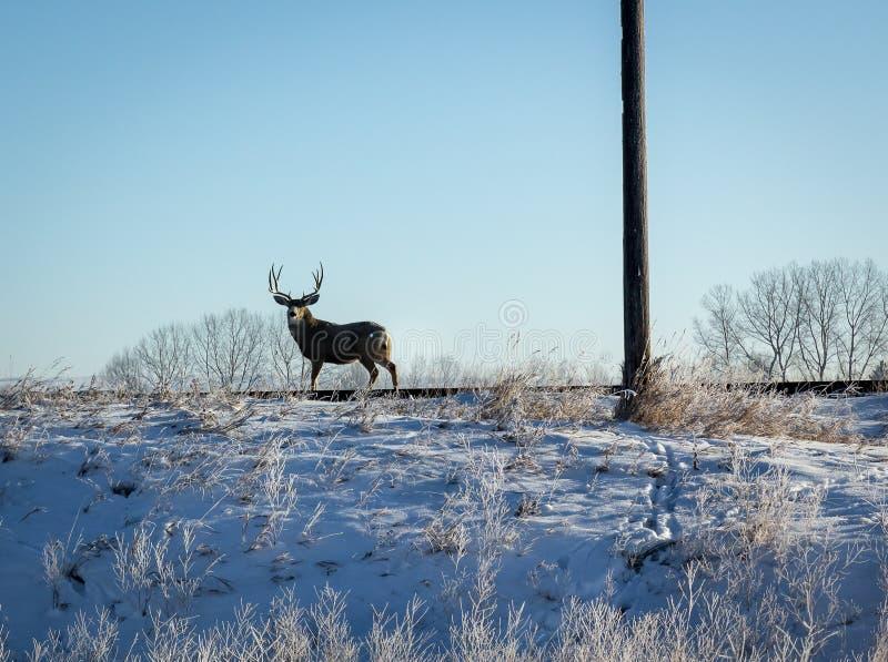 Mannelijke Herten Whitetail stock foto's