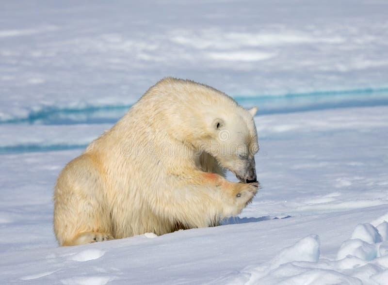 Mannelijke ijsbeer die voet na het eten likken royalty-vrije stock afbeelding
