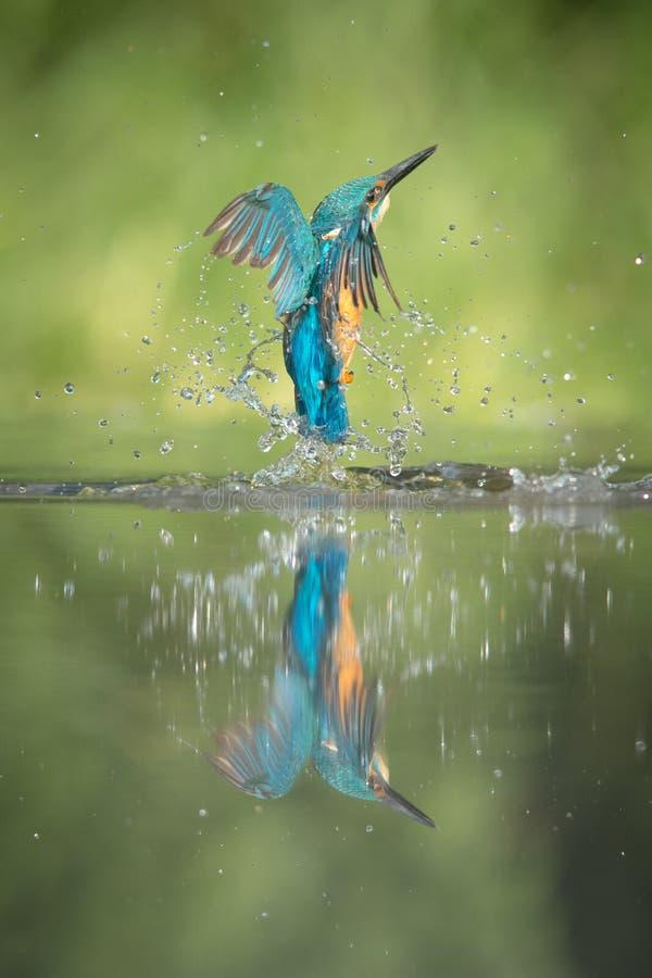 Mannelijke Ijsvogel stock afbeeldingen