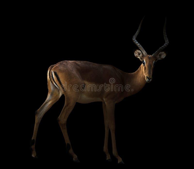 Mannelijke impala in dark royalty-vrije stock fotografie