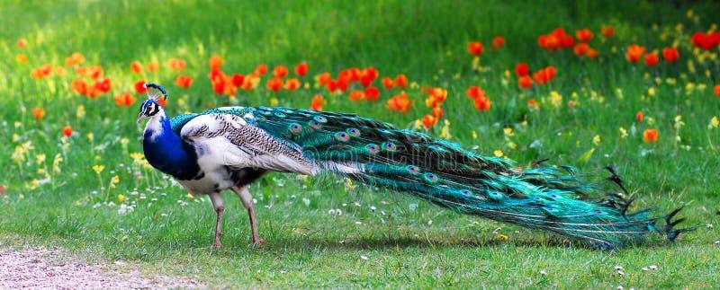 Mannelijke Indische Peafowl royalty-vrije stock foto
