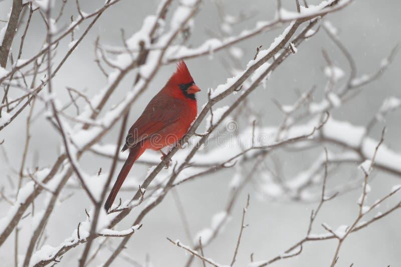 Mannelijke kardinaal in de winter