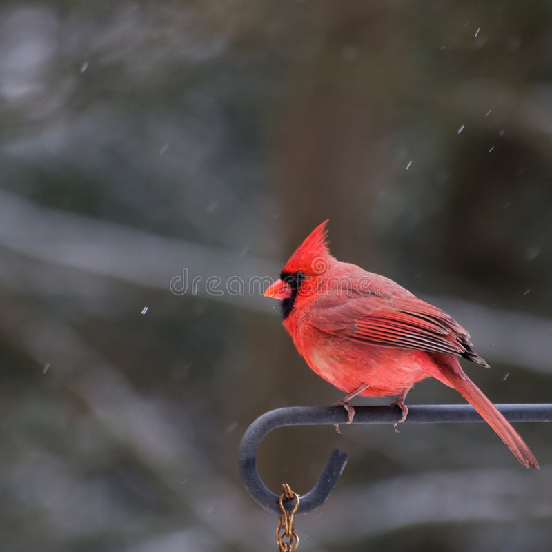Mannelijke Kardinaal - de Winter royalty-vrije stock afbeeldingen
