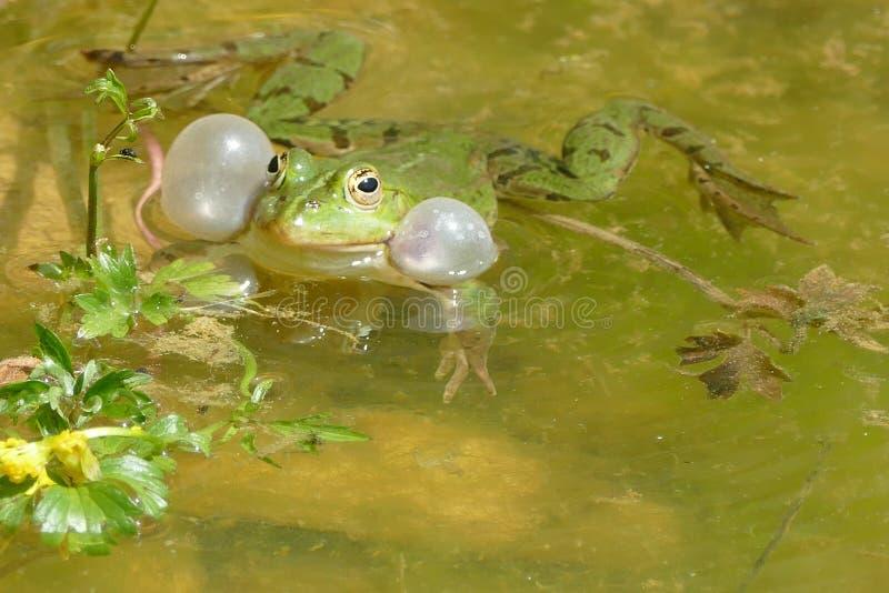 Mannelijke kikker in bronst polen royalty-vrije stock foto