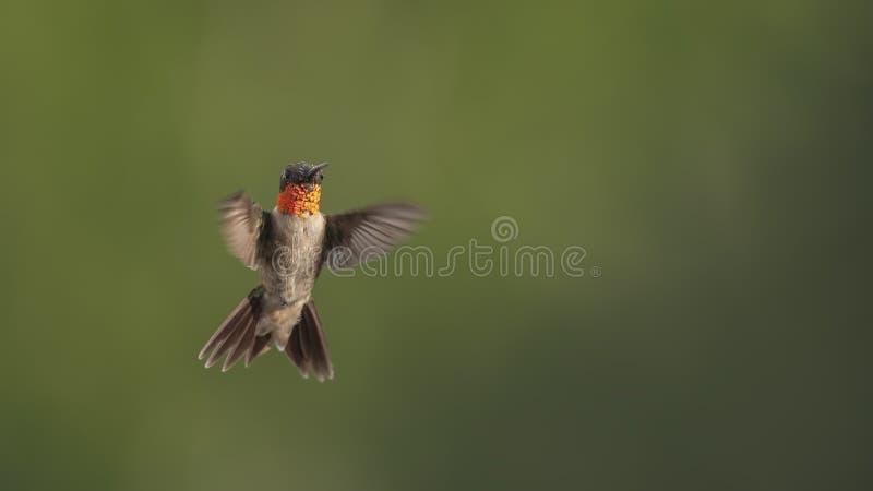 Mannelijke Kolibrie die in het Fokkenkleuren ruien stock foto