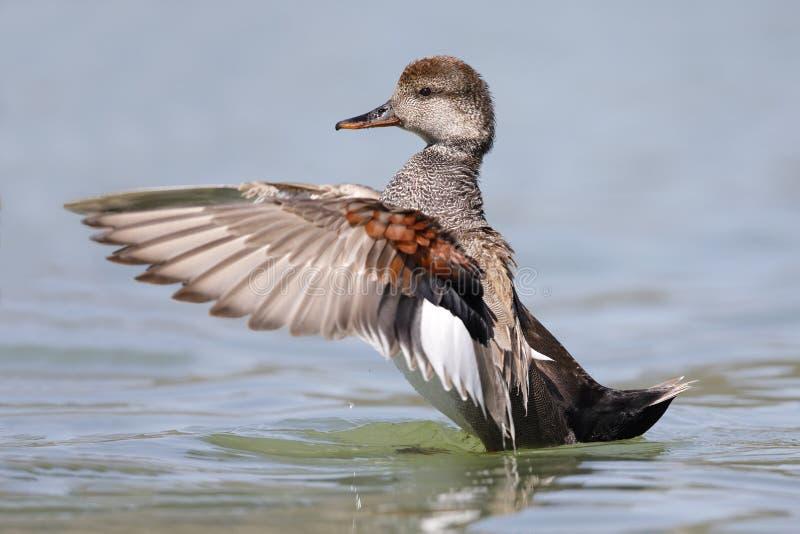 Mannelijke Krakeend die zijn vleugels op een meer klappen - Californië stock afbeelding