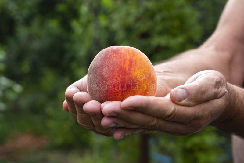 Mannelijke landbouwer die een heldere, sappige perzik in handen op houden groene bedelaars stock foto