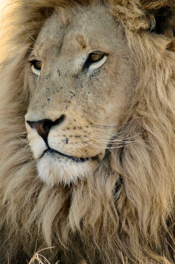 Mannelijke Leeuw. stock foto