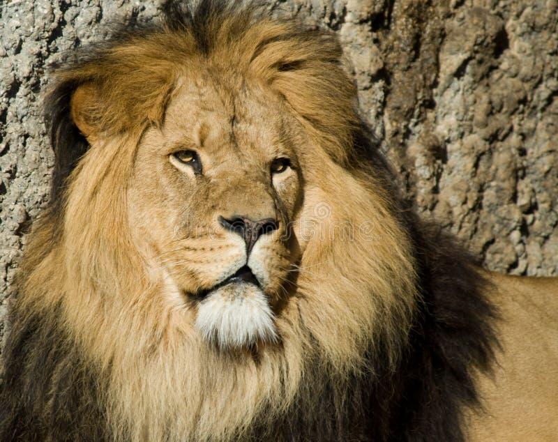Mannelijke leeuw royalty-vrije stock afbeelding