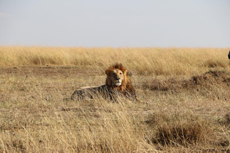 Mannelijke leeuw in de wildernis royalty-vrije stock afbeelding