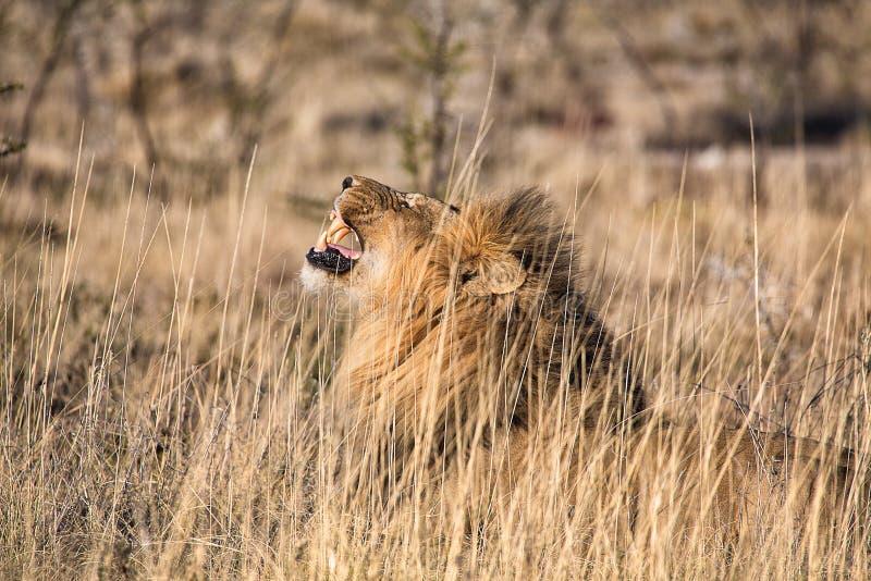Mannelijke leeuw die bij etosha nationaal park brullen stock fotografie