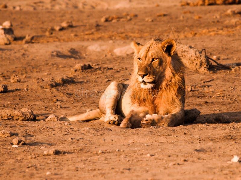 Mannelijke leeuw die een rust hebben royalty-vrije stock fotografie