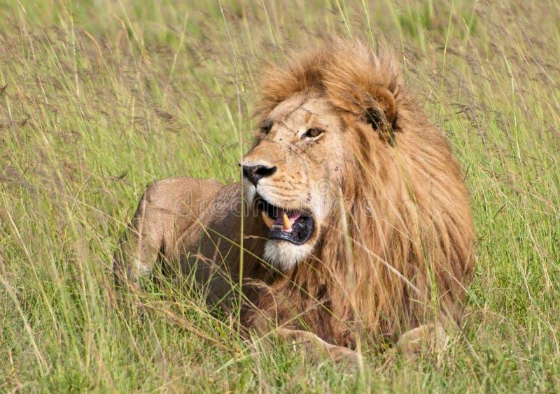 Mannelijke leeuw die in het gras liggen royalty-vrije stock afbeeldingen