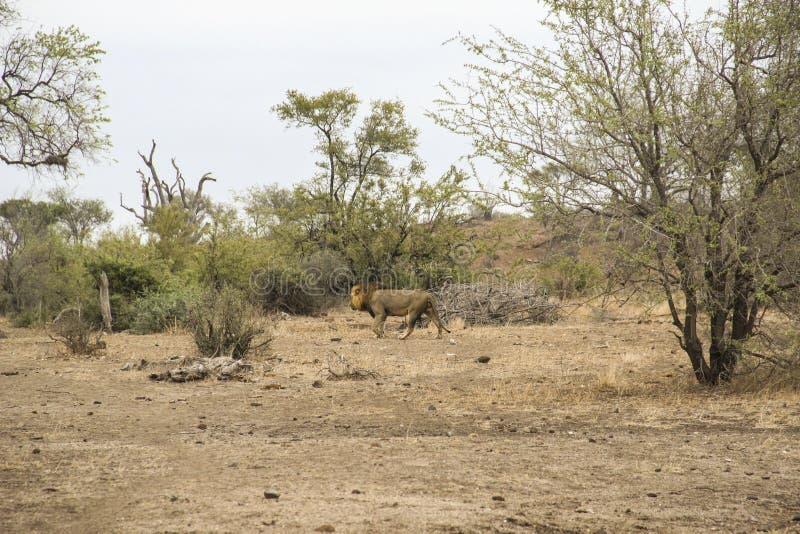Mannelijke leeuw die na het verbergen in struik, het Nationale Park Zuid-Afrika weggaan van Kruger royalty-vrije stock foto
