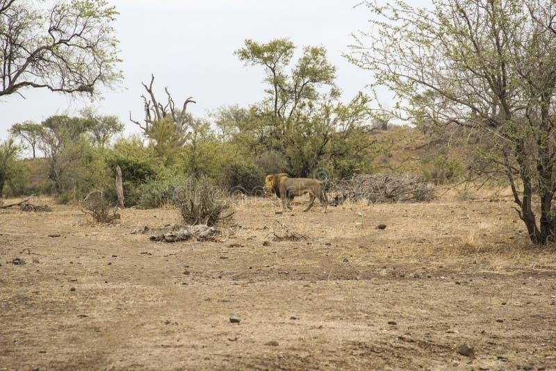 Mannelijke leeuw die na het verbergen in struik, het Nationale Park Zuid-Afrika weggaan van Kruger stock foto's