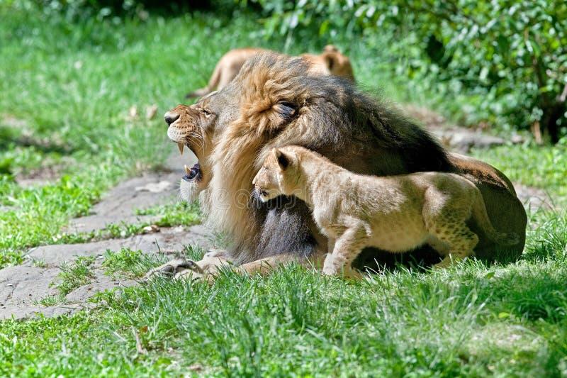 Mannelijke leeuw en zijn welp royalty-vrije stock foto