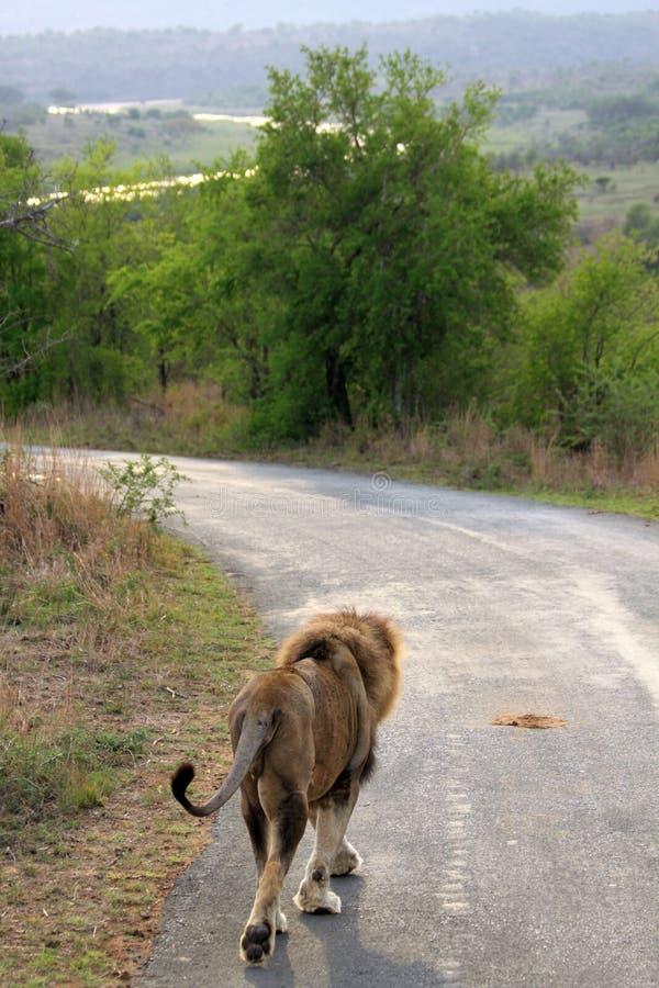 Mannelijke leeuw op de weg royalty-vrije stock afbeelding