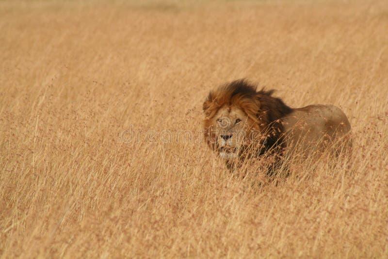 Mannelijke Leeuw in Serengeti stock foto