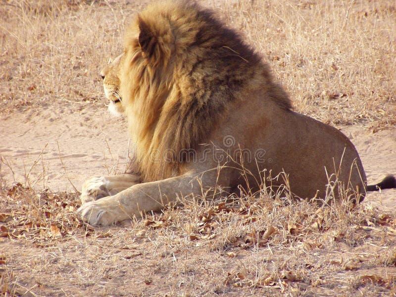 Mannelijke leeuw van erachter stock foto's