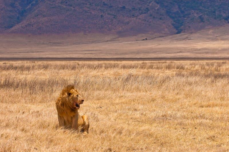 Mannelijke leeuwzitting in het droge gele gras stock afbeelding