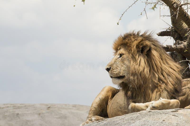 Mannelijke leeuwzitting op een rots die zijdelings onder ogen zien royalty-vrije stock afbeelding