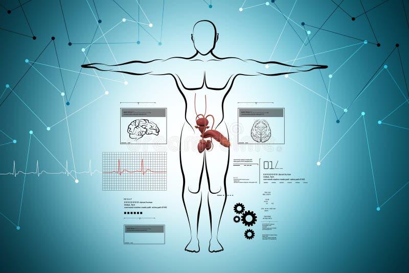 Mannelijke lichaamsschets met urinesysteem vector illustratie