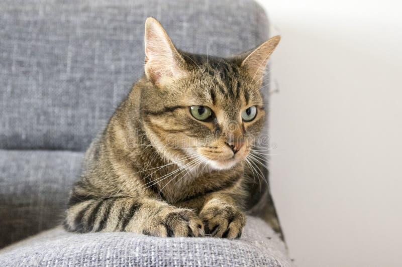 Mannelijke marmeren kat met slechte stemming royalty-vrije stock afbeelding
