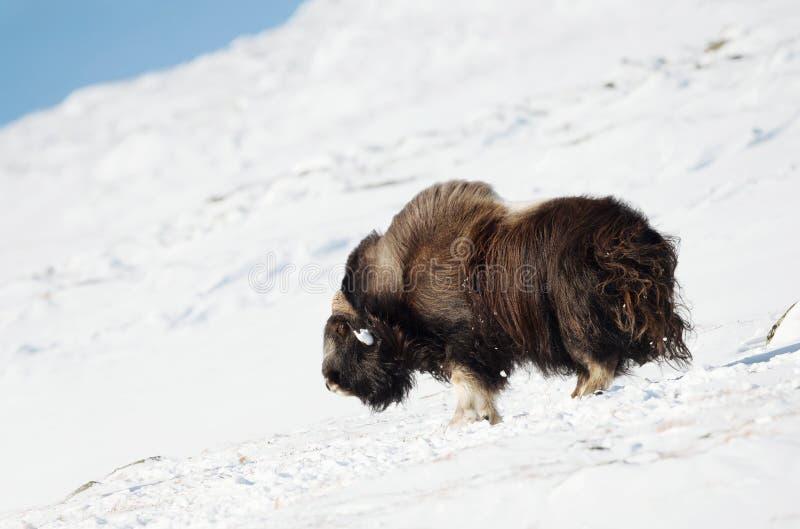 Mannelijke muskusos die zich in sneeuw in de bergen van Dovrefjell bevinden royalty-vrije stock foto