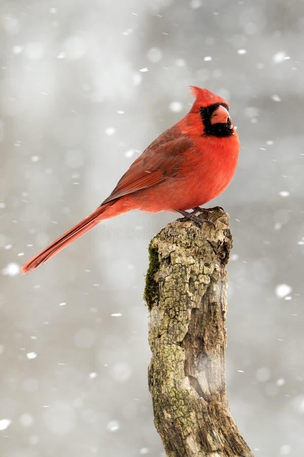 Mannelijke Noordelijke HoofddieCardinalis-cardinalis in een sneeuwonweer wordt neergestreken stock afbeeldingen