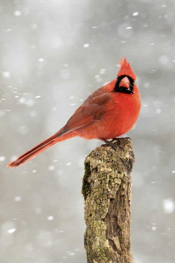 Mannelijke Noordelijke HoofddieCardinalis-cardinalis in een sneeuwonweer wordt neergestreken stock foto's
