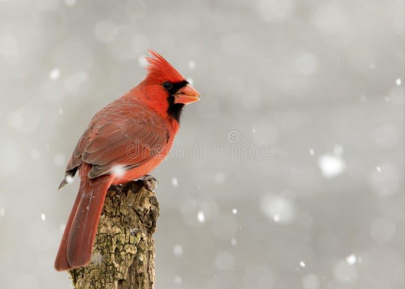 Mannelijke Noordelijke HoofddieCardinalis-cardinalis in een sneeuwonweer wordt neergestreken royalty-vrije stock foto