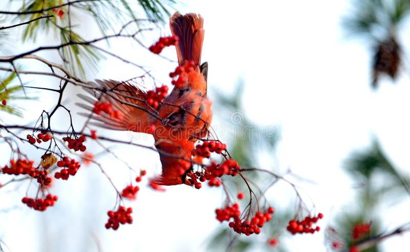 Download Mannelijke Noordelijke Kardinaal Die Rode Bessen Eten Stock Afbeelding - Afbeelding bestaande uit fotografie, outdoors: 107705831