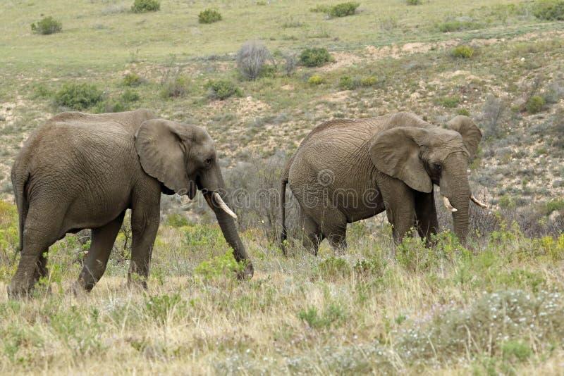 Mannelijke Olifanten bij Boteilierskop-Reserve royalty-vrije stock foto