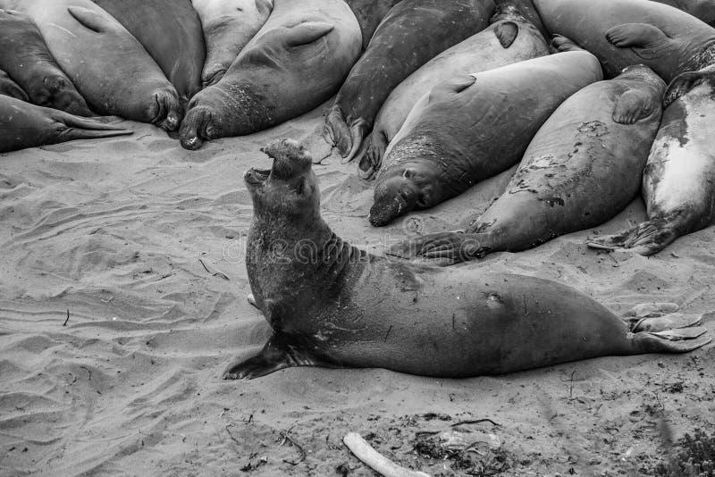 Mannelijke olifantsverbinding bij een strand royalty-vrije stock foto's