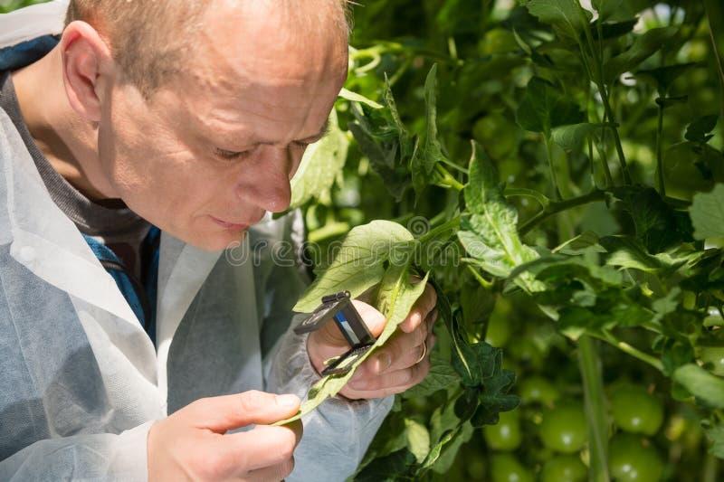 Mannelijke onderzoeker die blad van tomatenplant met meer magnifier onderzoeken bij royalty-vrije stock fotografie
