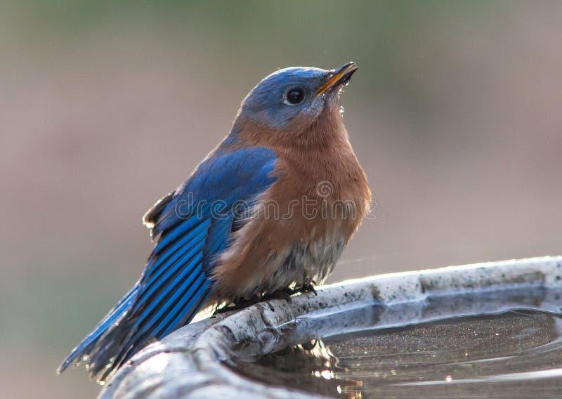 Mannelijke Oostelijke Blauwe Vogel royalty-vrije stock afbeeldingen