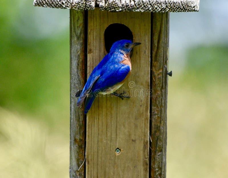 Mannelijke Oostelijke Blauwe Vogel #2 royalty-vrije stock fotografie