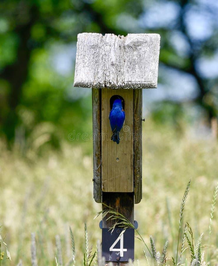 Mannelijke Oostelijke Blauwe Vogel 6 stock afbeelding